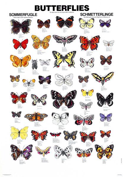 Hjem   187  Kart Plakater Litteratur   187  Plansjer   187  Plansje  sommerfuglerButterfly Species Names